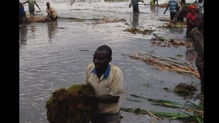 A man removes water hyacinth from Lake Cyohoha on Thursday.  (Eric Kabeera)
