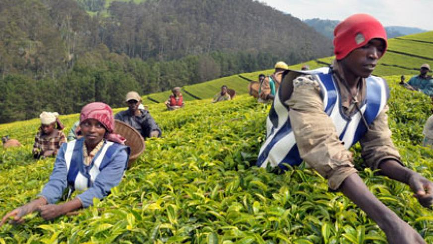 Kitabi plantation workers picking tea. Tea is one of the products that Rwanda exports to the US. (File)