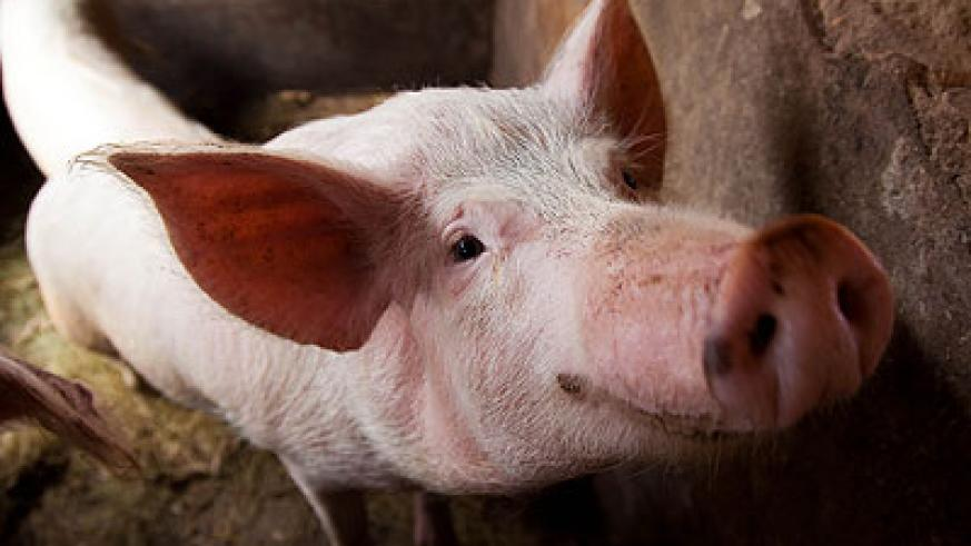 A pig at a farm in Nyirangarama. Statistics from FAO indicate that pork is the most consumed delicacy.  Timothy Kisambira.