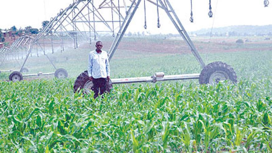 A farmer checks his maize field. Embracing irrigation is one of the ways that could greatly boost crop output. File.