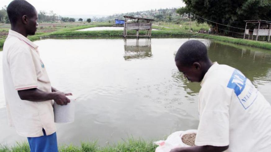 EDPRS II: \'Goldmine\' in fish farming | The New Times | Rwanda