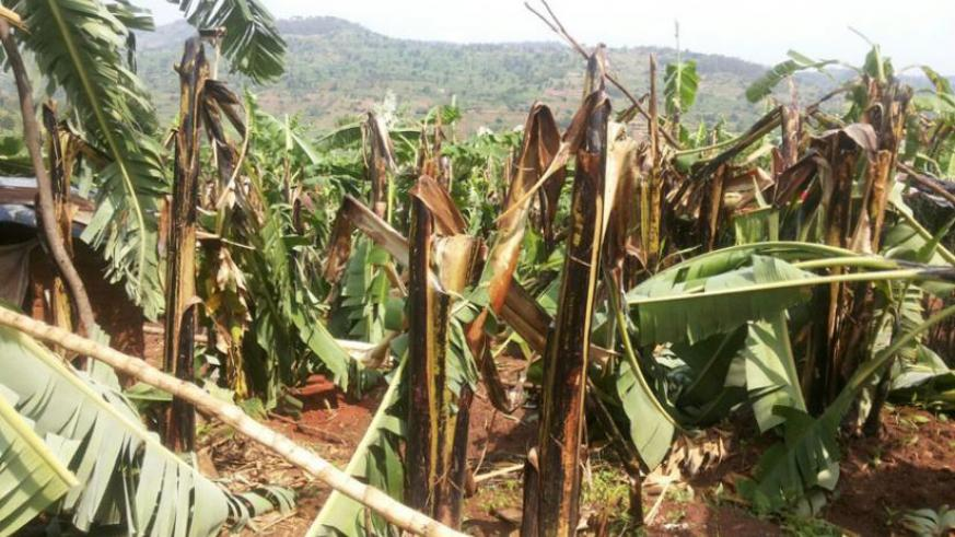 Banana plantations were also destroyed in the  heavy Monday evening rains that pounded the rural Musha Sector in Gisagara District. (Jean-Pierre Bucyensenge)