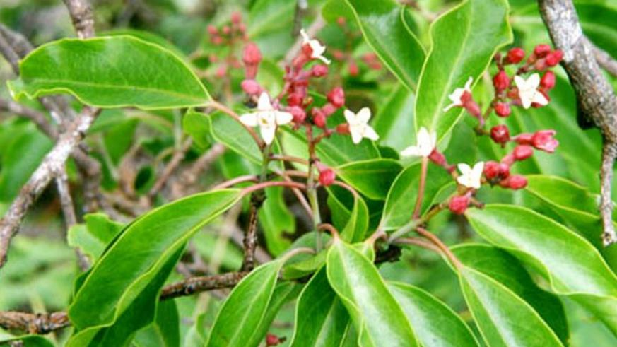Sandalwood is an endangered tree species that conservationists are wary could be rendered extinct by human 'greed' for making a kill from the perfume plant. (File)