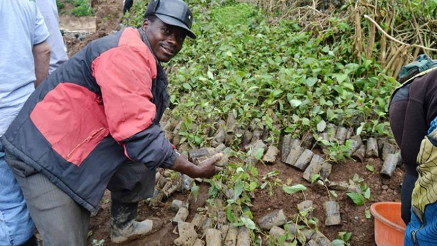 Rubavu residents pick tree seedlings for planting during the event on Saturday. (Jean d'Amour Mbonyinshuti)