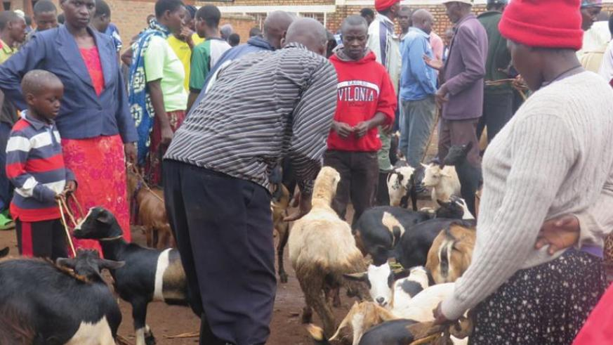 A livestock dealer checks out goats in Rwamagana market. Goat prices are up.(Stephen Rwembeho)