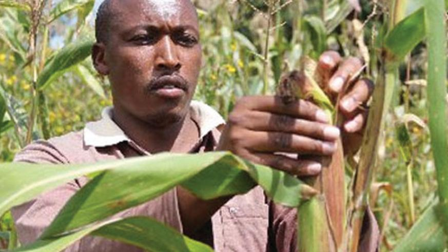 A farmer inspects maize. Rwanda's farmers have acquired skills to participate in EAX trading.