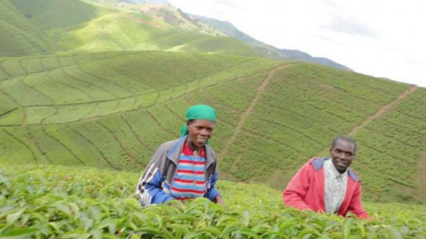 Workers in a tea plantation in Nyaruguru District. (Jean Pierre Bucyensenge)
