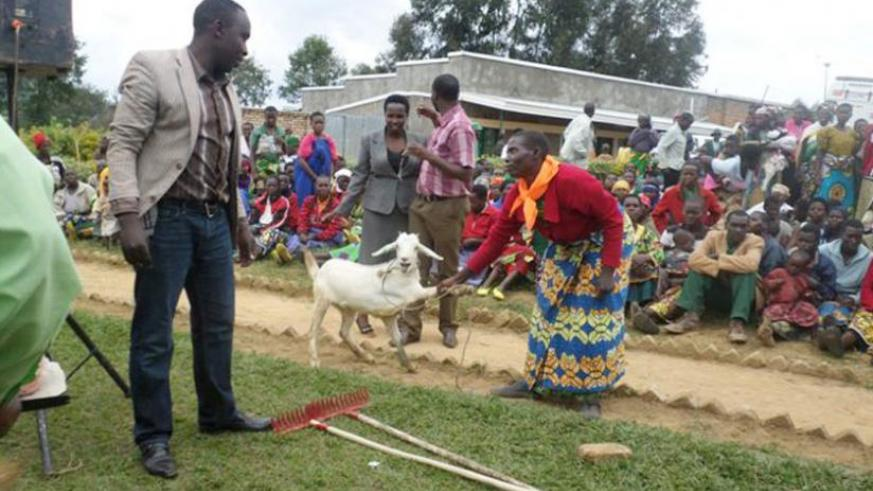 Jacqueline Dusabimana, one of the beneficiaries, pulls her dairy goats while Claude Kabandana, the executive secretary for Kitabi Sector, looks on, yesterday. (Théogène Nsengimana)
