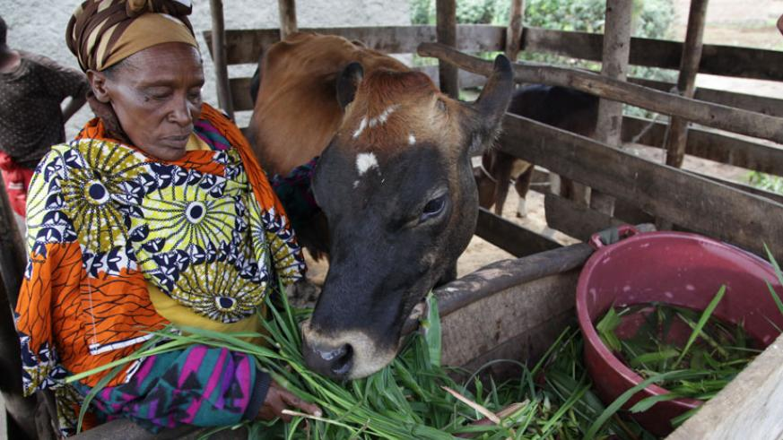 A resident of Mukamira sector of Nyabihu District feeds her cow in October last year. (John Mbanda)