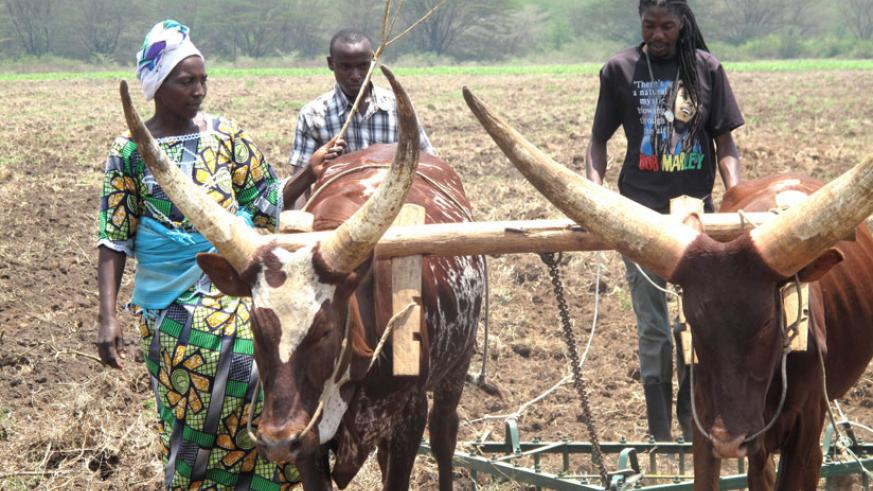 Farmers prepare land for planting in the Eastern region. Govt plan to buy produce has  encouraged farmers to produce more. (File)