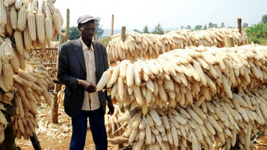 A famer in Ruhango District checks on his maize barn in 2013. (File)