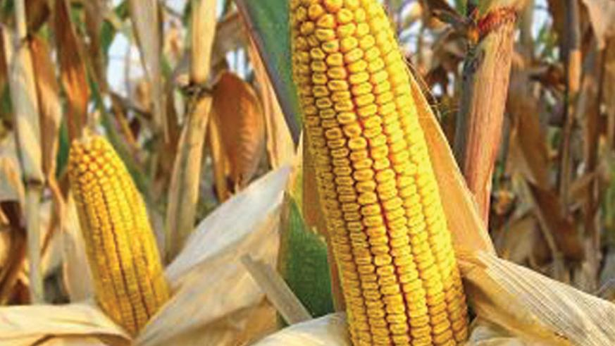 Maize cobs in the field. The farmer-to-farmer extension model is expected to boost crop production. (File)