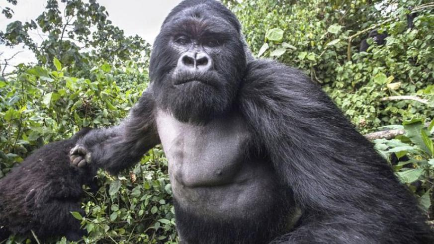 Wildlife photographer Christophe Courteau took this  picture a split-second silverback gorilla Akarevuro punched him. (Internet)
