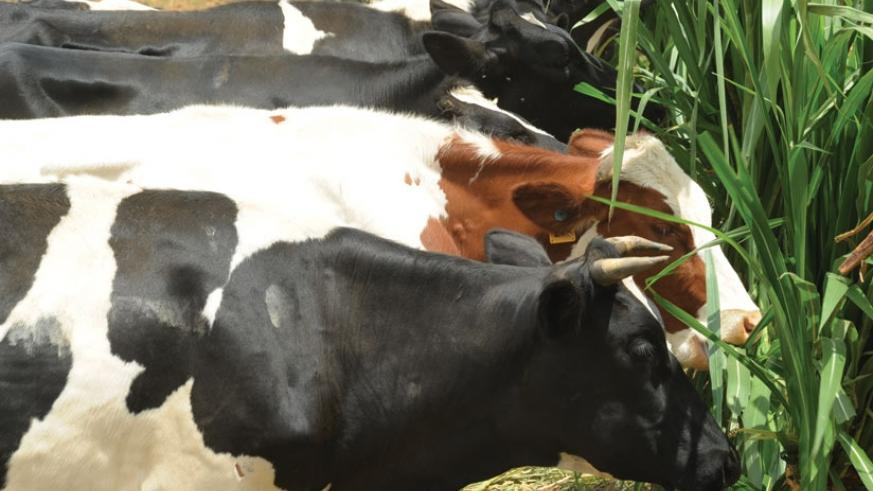 Some of the cows that were donated to poor households in Cyili. (Peterson Tumwebaze)
