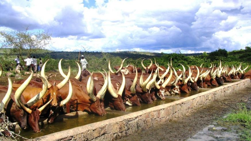 There has been a new outbreak of foot-and-mouth disease in Nyagatare District in the Eastern Province, the Ministry of Agriculture confirmed yesterday. (File)