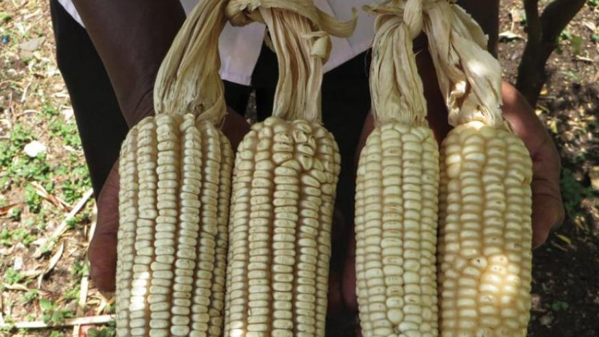 A farmer displays two varieties of maize. Modern varieties of food crops, such as maize, can help improve productivity in Africa. (Net photo)