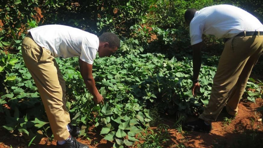Students use the garden to get skills in farming. (All photos by Donah Mbabazi)