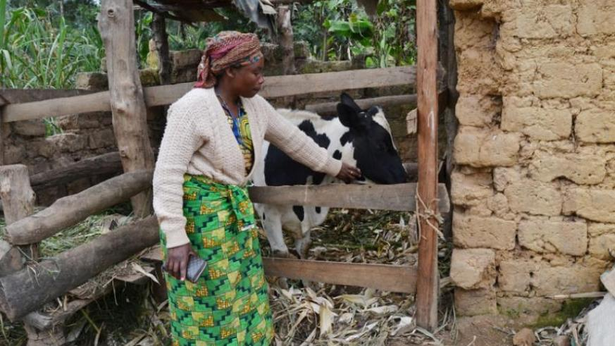 Usanzamaharo tends to her cow that she got thanks to mordern farming. (Jean d'Amour Mbonyinshuti)