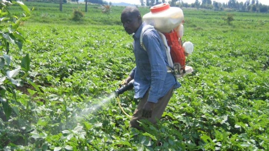 A farmer sprays potatoes in Musanze District. (File)