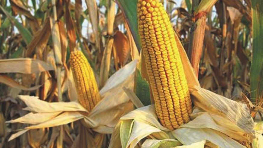 A maize cob ready for harvest. Farmers have been urged to use proper post-harvest handling methods to ensure quality along the value chain. (File photo)