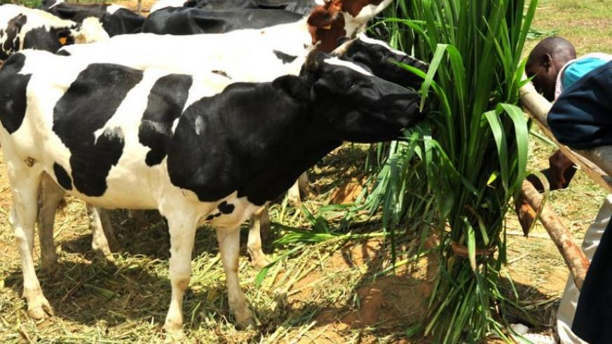 A farmer feeds exotic cattle in Eastern Province. (File)