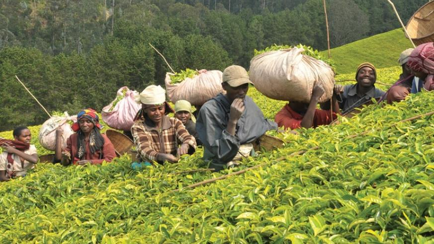 Workers pick tea leaves in one of the country's plantations. The National Agricultural Export Board has put  in place mechanisms to control quality along the tea value chain. (File)