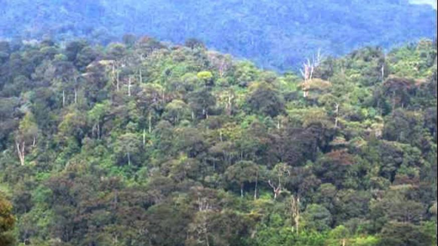Gishwati-Mukura Forest Reserve in the north-west of the country will soon be transformed into a national park. (Courtesy)