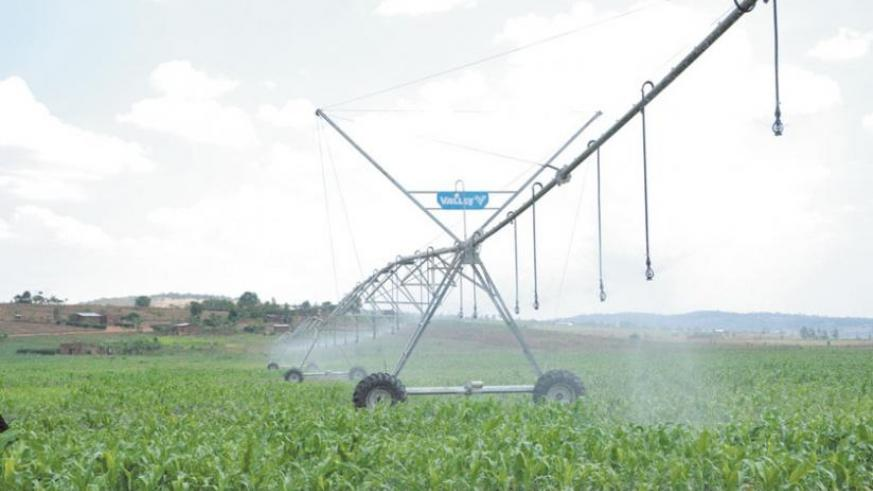 A maize plantation during an irrigation process. Irrigation is one of the key priorities this year. (File)
