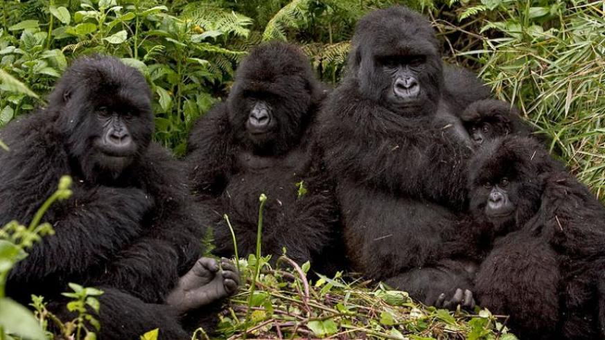 Gorillas at the Volcanoes National Park in Musanze District.(File)