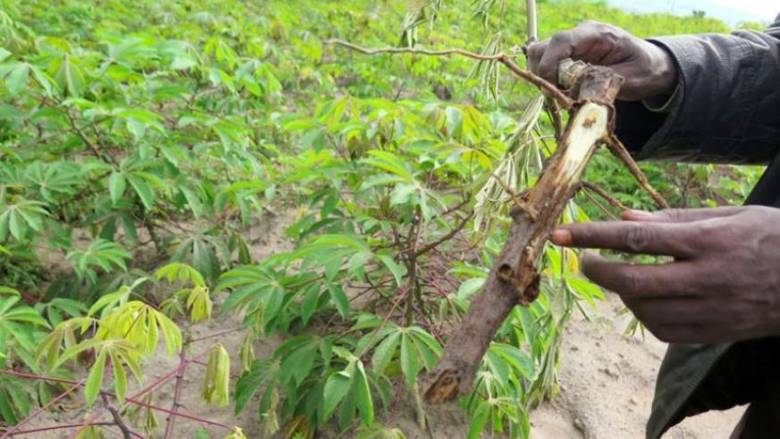 The roots and shoots of cassava plants are getting affected, leading to drying. (Emmanuel Ntirenganya)