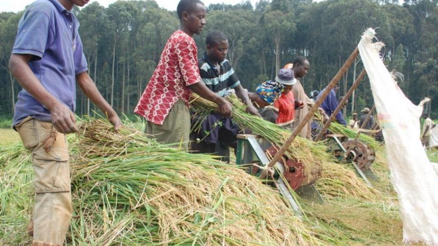 Farmers  in Rubona, southern Province harvest rice. (File)