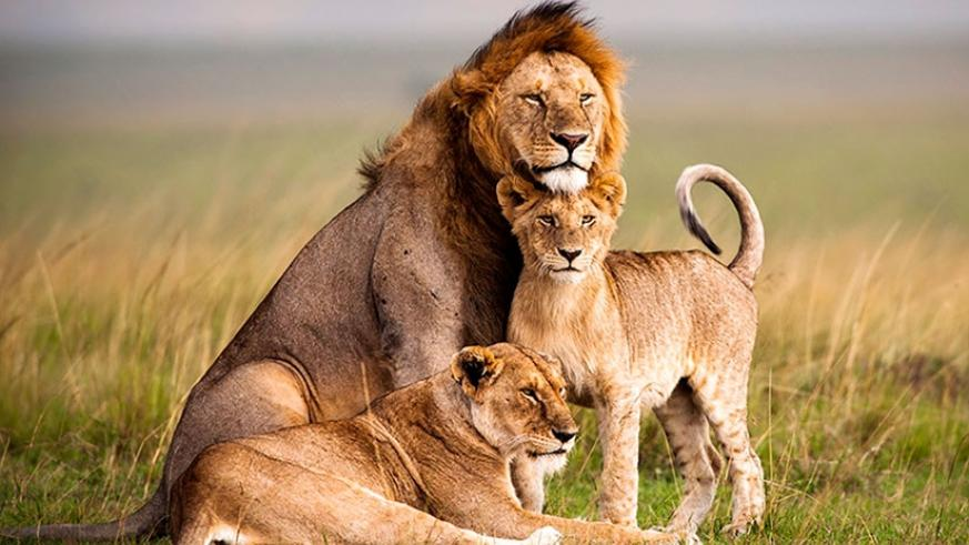 Rwanda will get seven lions from South Africa on Monday, a boost for the fast-growing tourism industry. (Net)