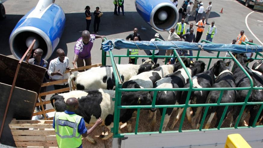 Cows for Girinka Project arrive at Kigali International Airport in November 2011. The cows were distributed to households so as to fight poverty. (File)