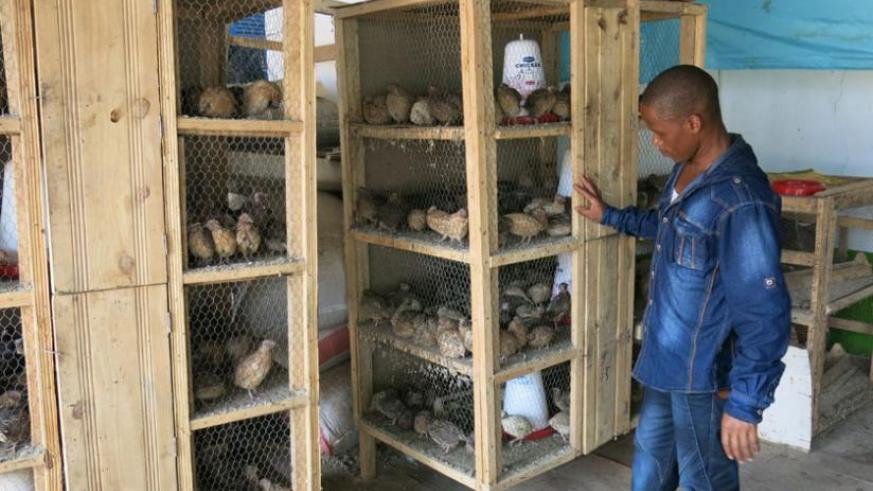 Quail rearing: The untapped opportunity in poultry farming | The New