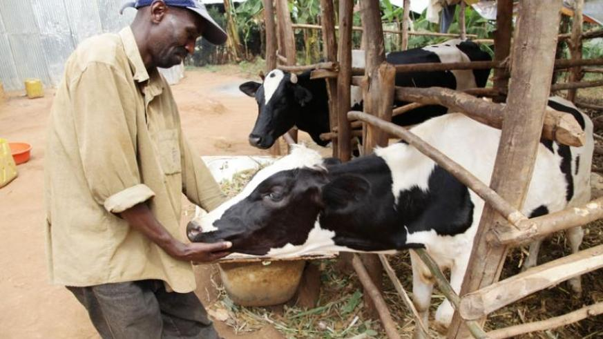 A Nyamagabe resident checks a cow he got from the Girinka programme. Local industrialists are mobilising resources to contribute about 150 dairy cows to the initiative. (Timothy Kisambira)