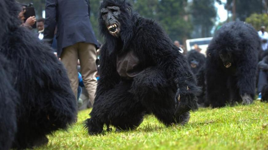 Humans dressed as gorillas imitate the critically endangered species at last year's                    Kwita-Izina event in Musanze District. (File)