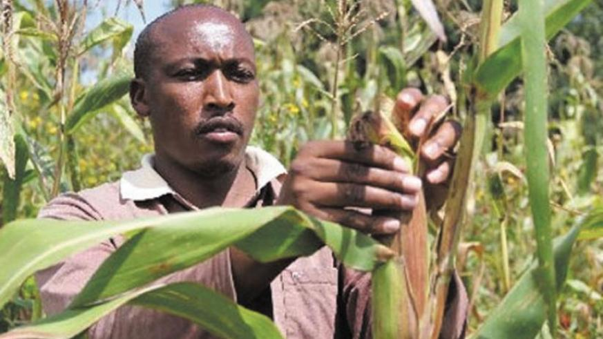 A farmer harvests maize. Most small enterprises do not access financing, even from microfinance institutions, which is crippling their growth. (File)