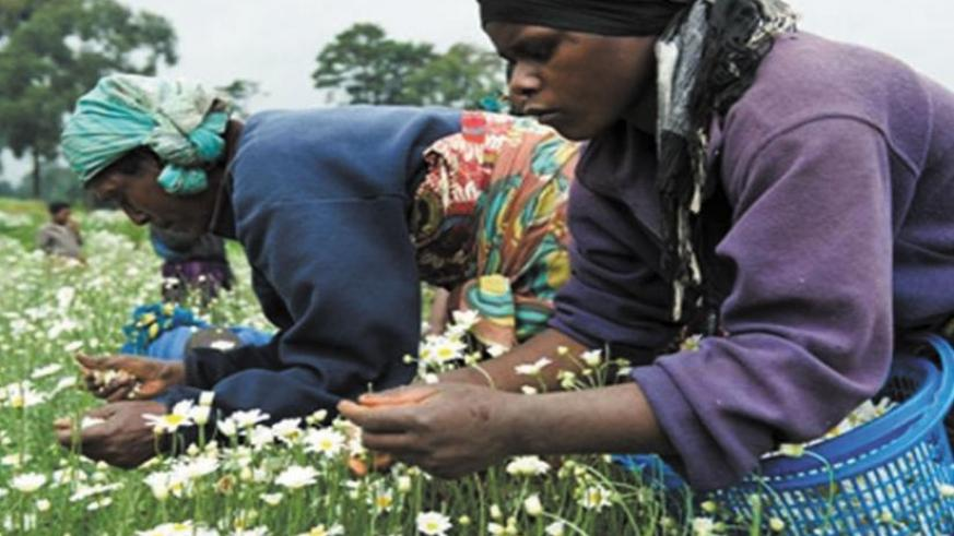 Farmers pick pyrethrum flowers. The crop is key to Rwanda's exports growth strategy. (Peterson Tumwebaze)
