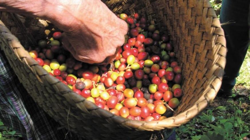 A farmer sorts red coffee cherries. NAEB is distributing fertilisers to farmers to boost output. (Net photo)