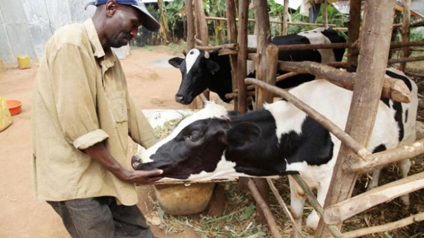 A Nyamagabe resident checks a cow he got from the Girinka programme which has contributed to  poverty reduction across the country. (File)