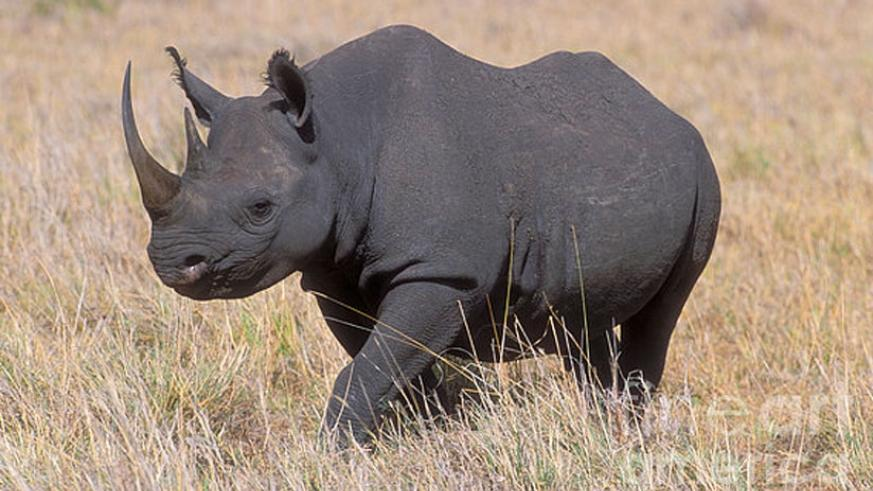 Black rhinos are to be reintroduced in Rwanda (Net photo)
