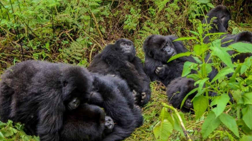 Nineteen baby gorillas from the Volcanoes National Park are expected to be named in the 2016 Kwita Izina ceremony in September. The photo was taken last year in Bisoke Volcano. (File)