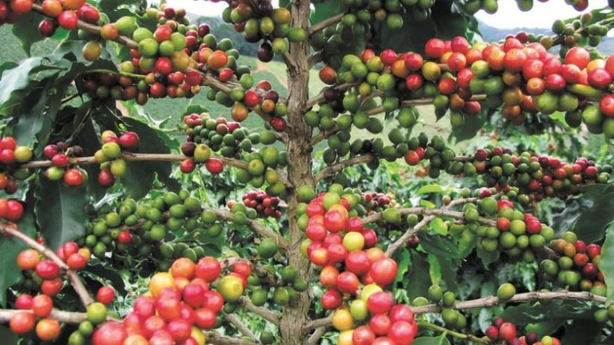 Coffee beans have not performed well at the last three auctions. (File)