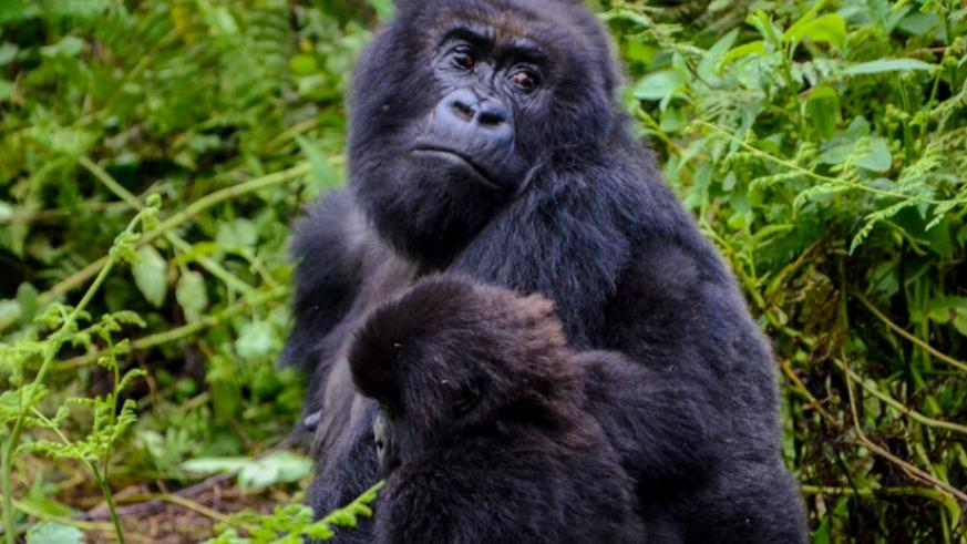 One of the gorillas in Rwanda holds her little baby in the National Volcanoes Park last year. Gorilla trackers now use GPS to count the number of gorillas. (Faustin Niyigena)