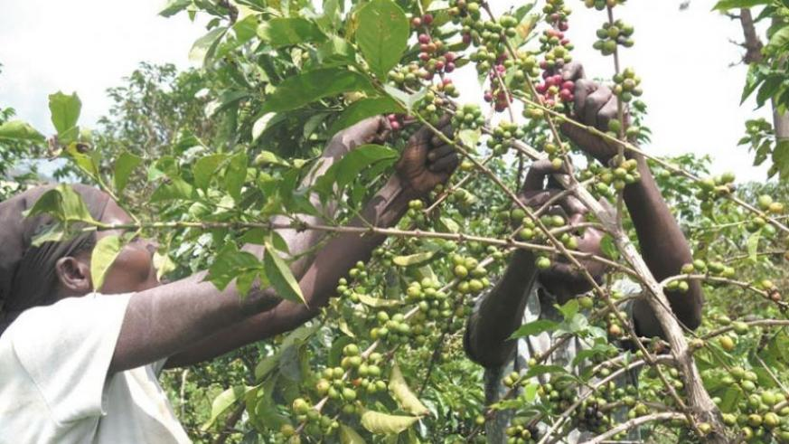 The export body has been emphasizing value addition and encouraging farmers and cooperatives to take advantage of the coffee washing stations to boost the quality of coffee exports....