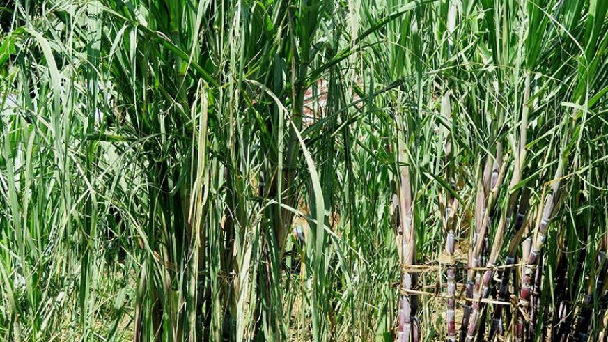 Sugarcane growing in Rusizi District, Western Province. Sugarcane is used for the production of sugar, ethanol and energy. / Emmanuel Ntirenganya.