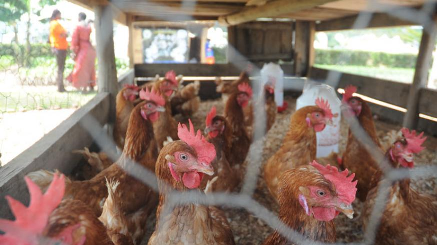 Poultry in a cage during last years agricultural exhibition in Kigali. / File.