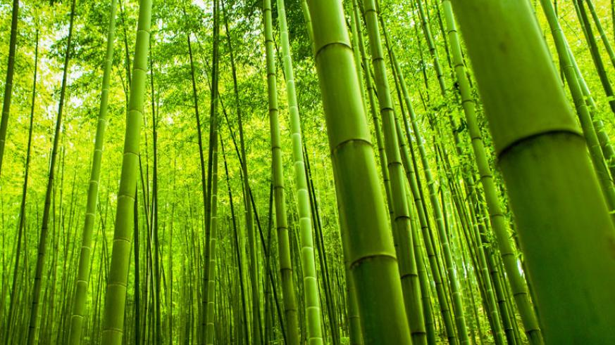The Government might be promoting the growing bamboo trees but many people still feel the potentials of perennial ever-green are not full exploited in the country. / Net.