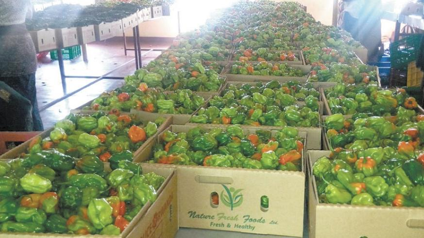 Horticulture exports. Red and green peppers in preshipment sorting at National Agricultural Export Board offices in Kigali. (Courtesy.)