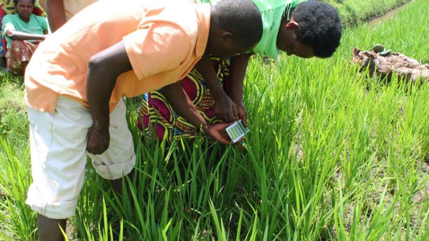 Farmers use urea briquettes to fertilize rice. The innovative technology, known as Fertilizer Deep Placement (FDP), has been successful in Asia and West Africa. (Net photo)